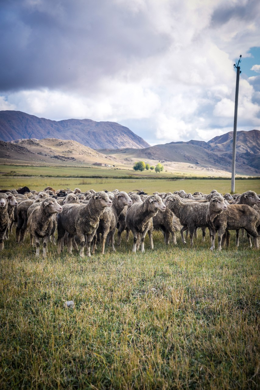 a flock of sheep in a field